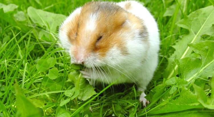 Syrian_hamster_filling_his_cheek_pouches_with_Dandelion_leaves_cropped